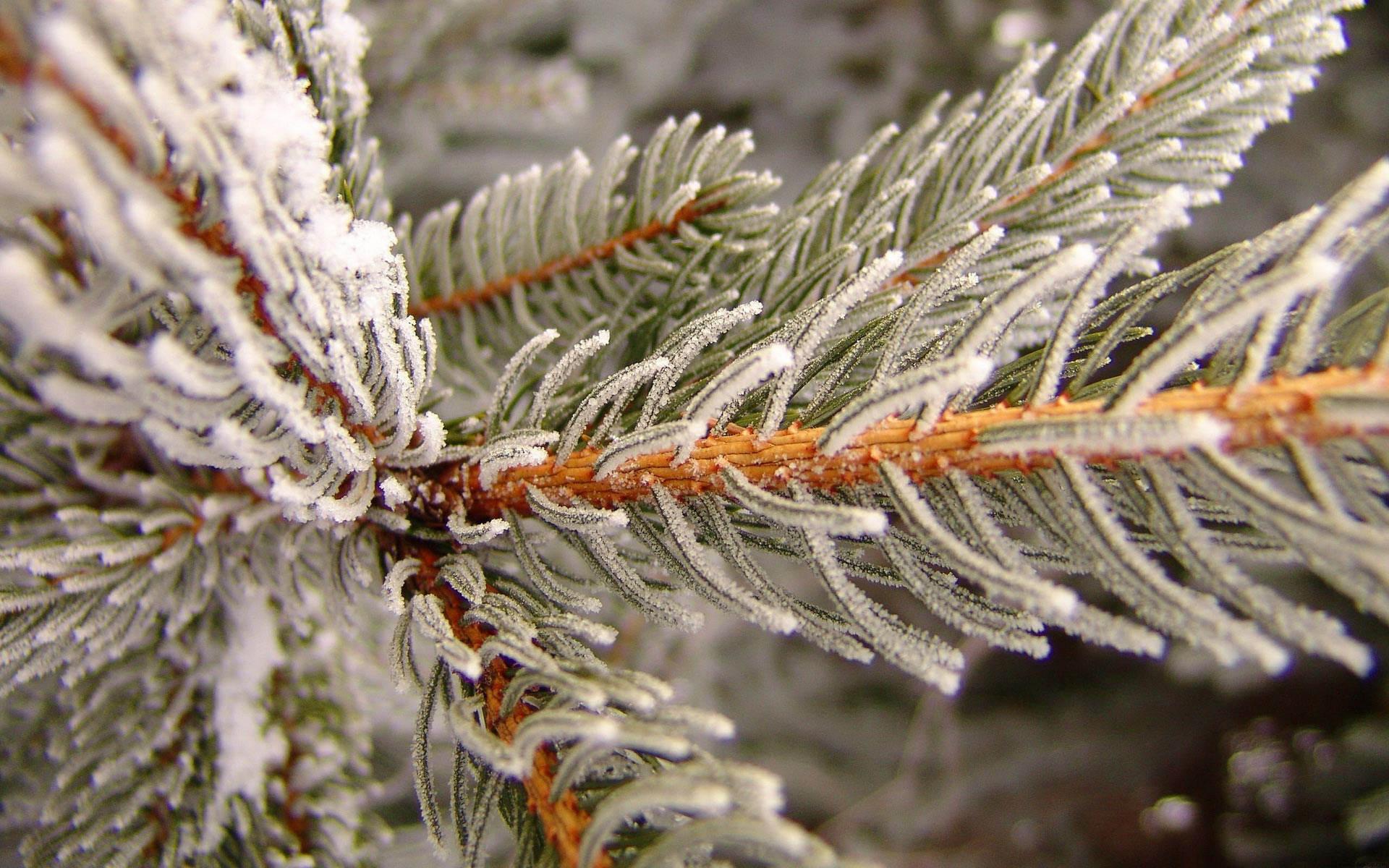Winter_wallpaper_-_Spruce_frost