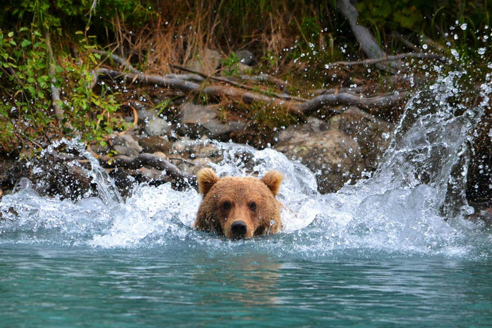 Гризли из Аляски плывет по реке. Фото: Чак Спенс (Chuck Spence)