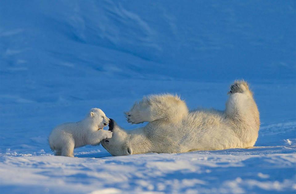 Малыш белого медведя играет со своей мамой. Фото: Николай Зиновьев (Nik Zinoviev)