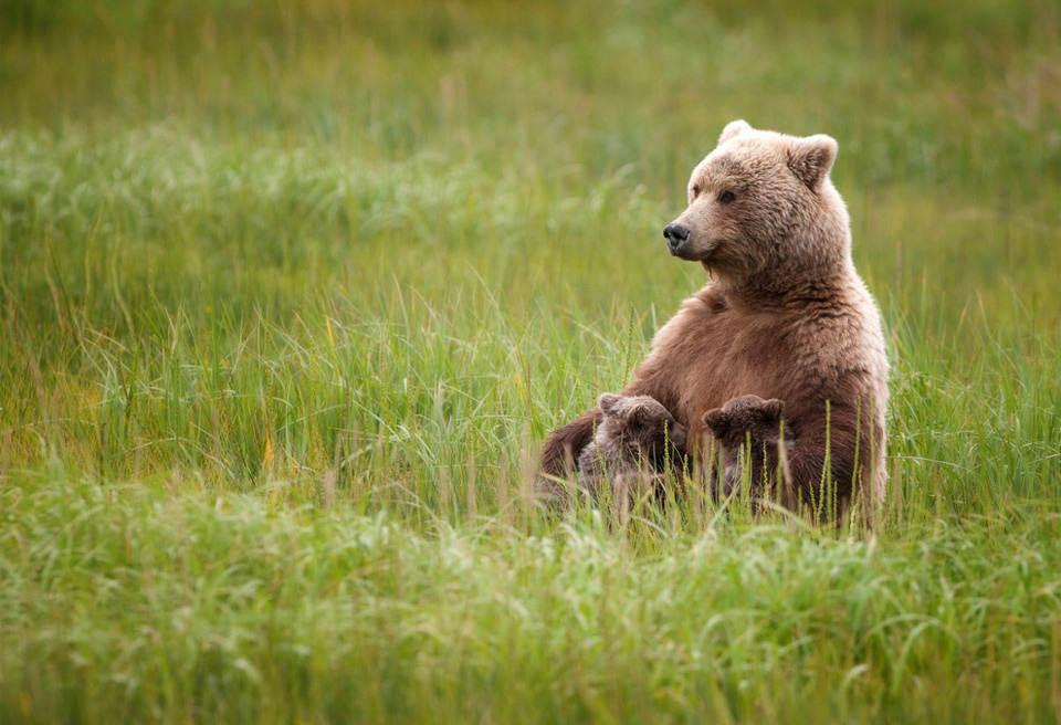 Мама медведица кормит своих малышей. Фотография: Rutk Steck | National Geographic