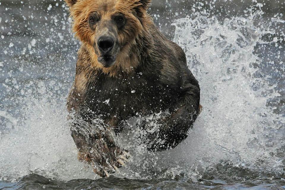 Медведь бежит через реку. Фото: Барет Хеджес (Barrett Hedges)
