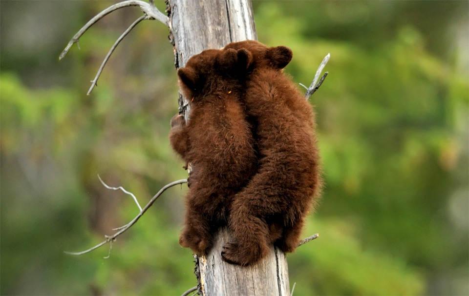 Детеныши черного медведя взбираются на дерево. Фотография: Дон Джонстон (Don Johnston)