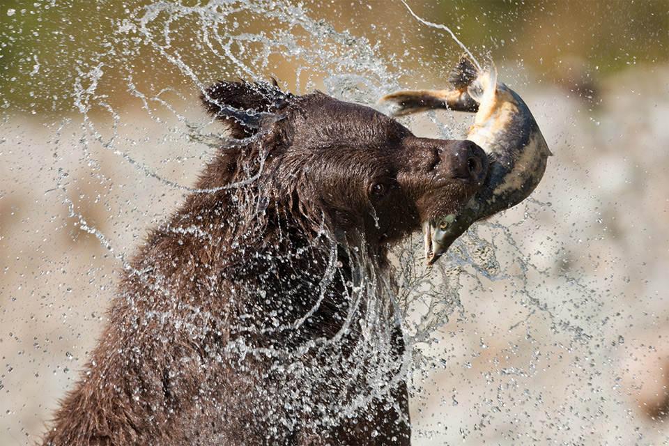 Бурый медведь поймал лосося. Автор фото: Пауль Соудерс (Paul Souders)