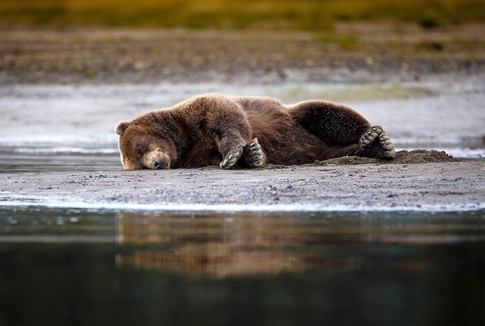 Медведь гризли лег вздремнуть на берегу реки. Фото: Крис Мак Леннан (Chris Mc Lennan)