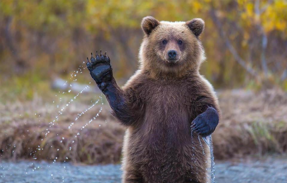 Медведь Гризли передает вам привет из Аляски. Фотография: Кевин Дитрих (Kevin Dietrich)