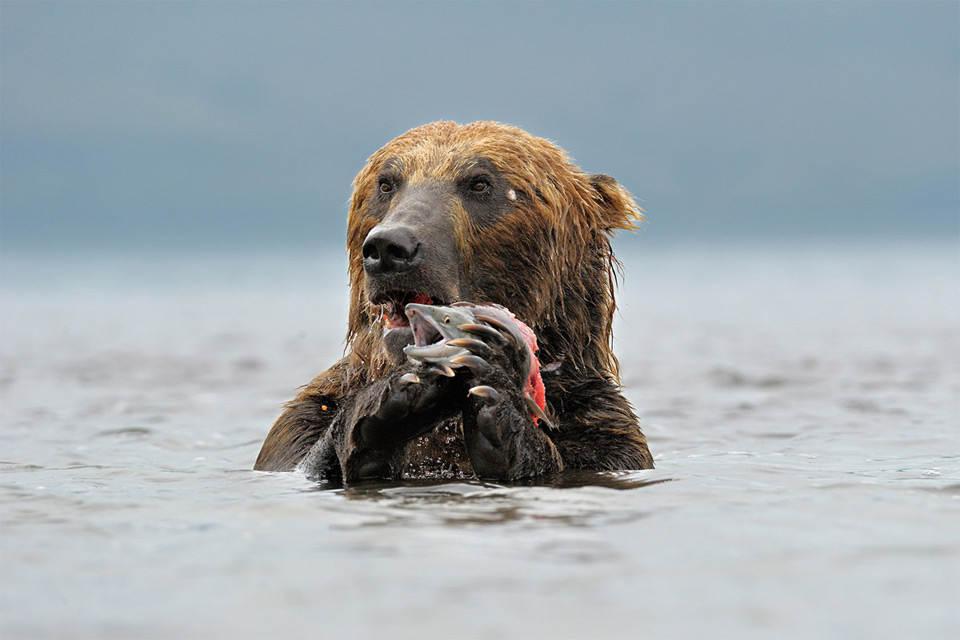 Камчатский бурый медведь поймал свой обед. Фото: Марко Поггиони (Marco Poggioni)