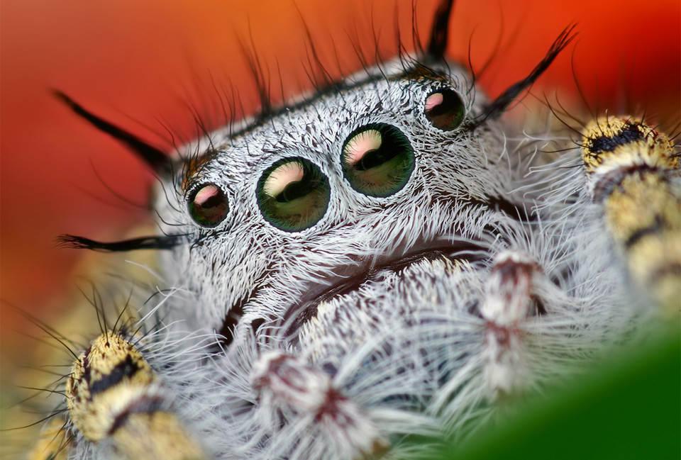 macro-jumping-spider