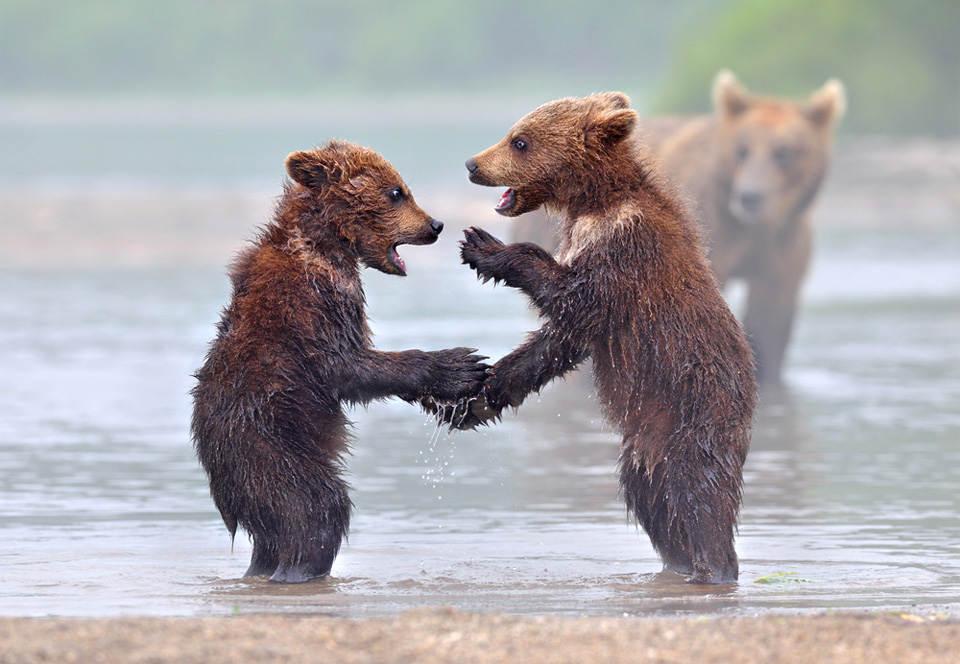 Дискуссия медвежат. Фото: Николай Зиновьев (Nik Zinoviev)