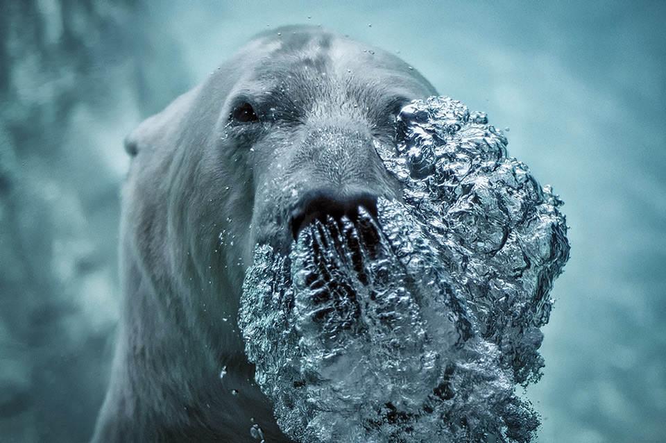Белый медведь под водой. Фото: Джефф Руманс (Jeff Rumans)