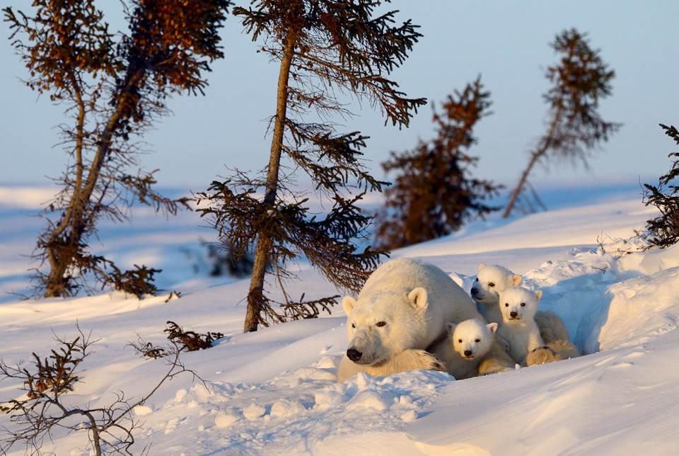 Семья белого медведя. Автор фото: Николай Зиновьев (Nik Zinoviev)