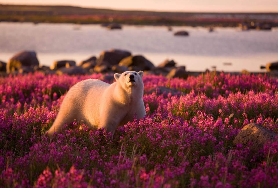 Белый медведь в поле фиолетовых цветов. Фотография: Майкл Полиза (Michael Poliza)
