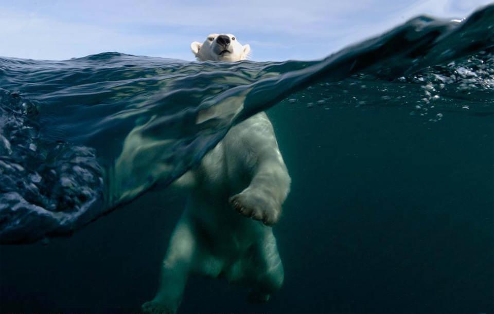 Белый медведь в воде. Фото: Джо Вунния (Joe Bunni)