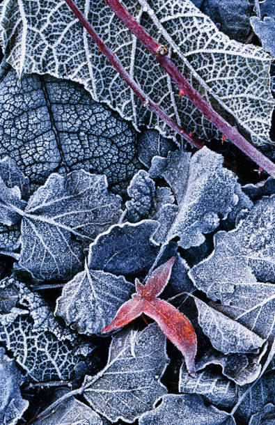 frosted leaves in winter