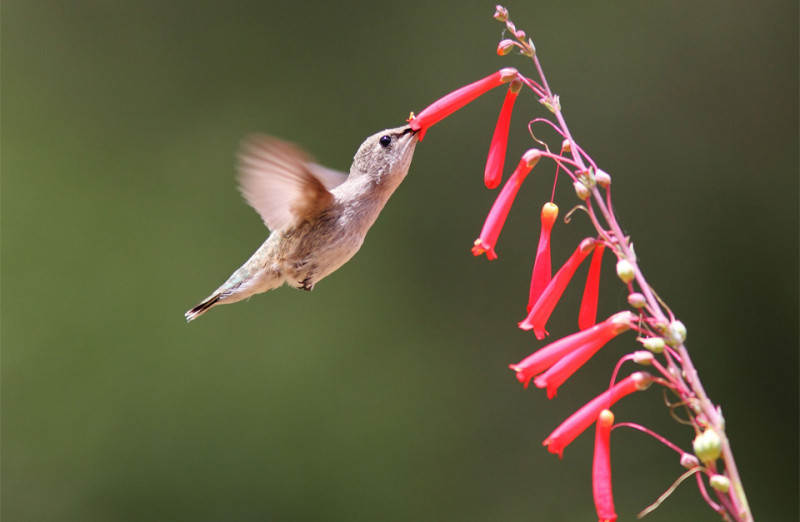 black-chinned-hummingbird-in-flight