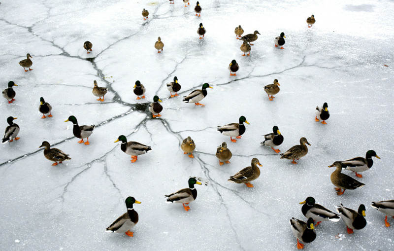 ducks-on-frozen-lake