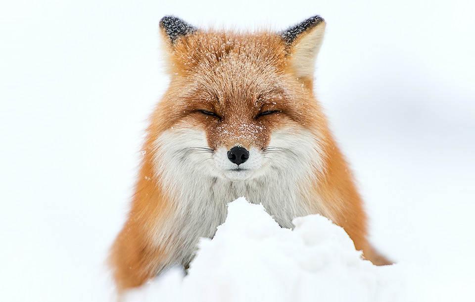fox-sleeping-in-snow