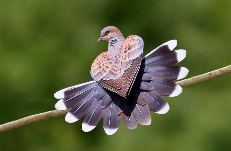 heart-shaped-pigeon