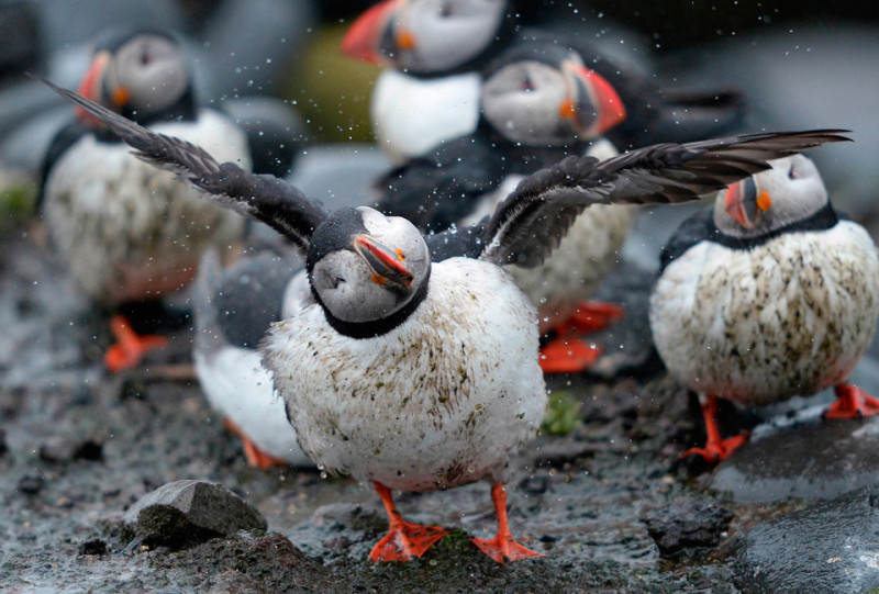 puffin-bird-shakes-off-the-rain