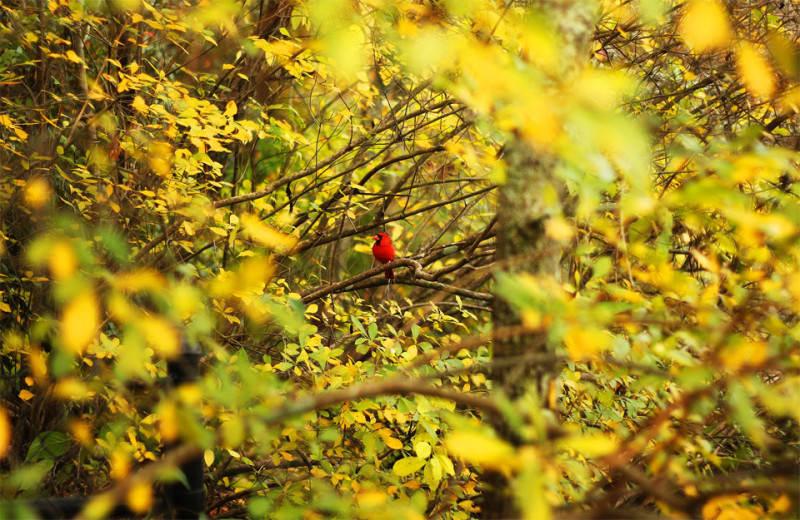 Красная птица в желтых листьях