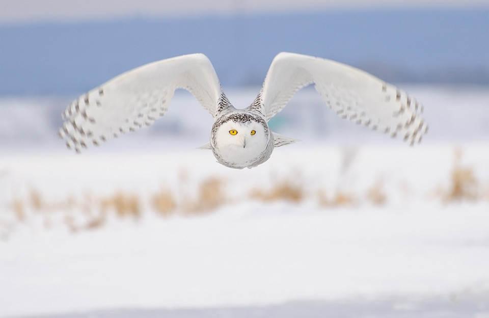 Белая сова в полете . Фото: Роллан Гелли (Rolland Gelly)