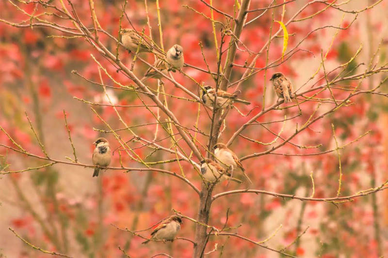 sparrows-with-maple-in-background-reflecting-autumn