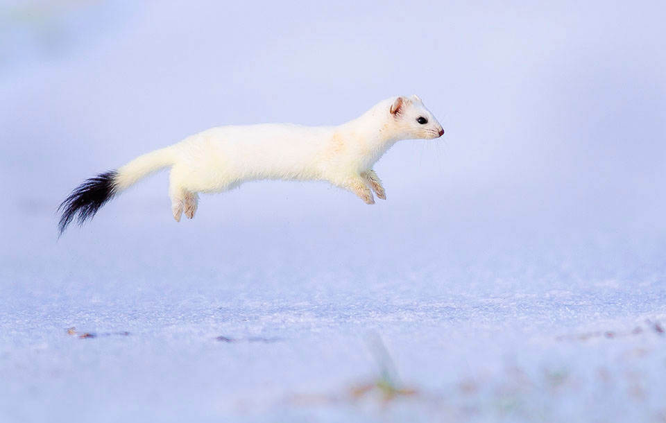 stoat-frozen-in-air