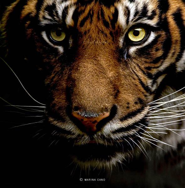 тигр Marina Cano