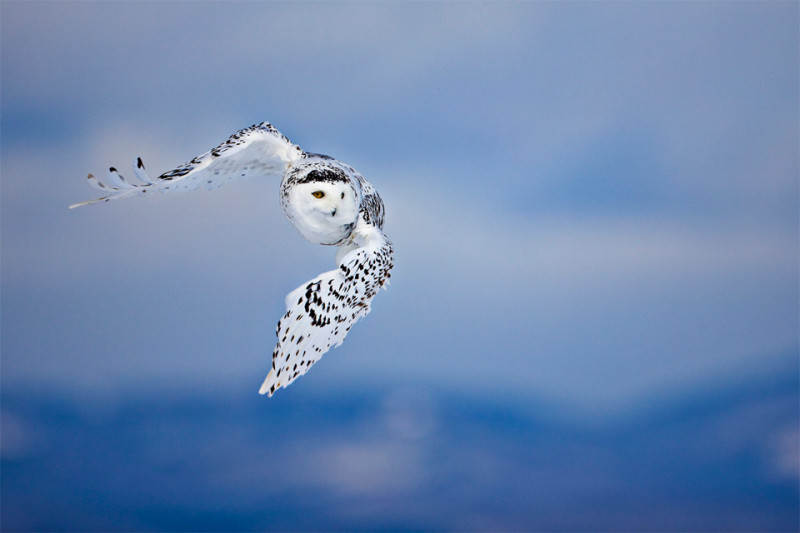 white-owl-in-flight