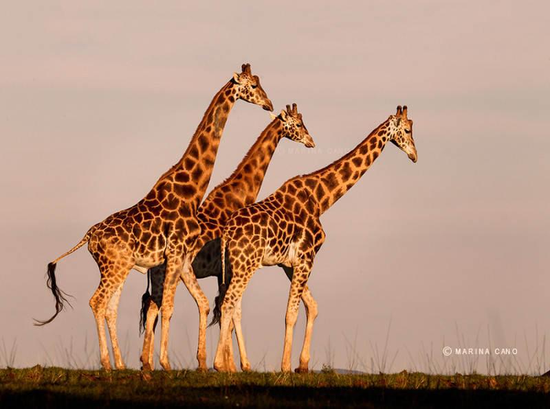 жираф (2)