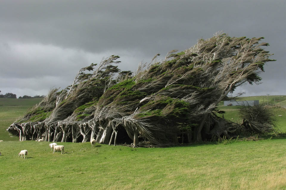 Деревья гнуться под сильным ветром, Новая Зеландия