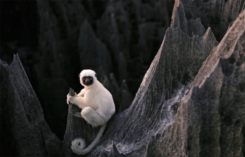 Лемур Сифака в Каменном лесу. Фото: Steven Alwarez