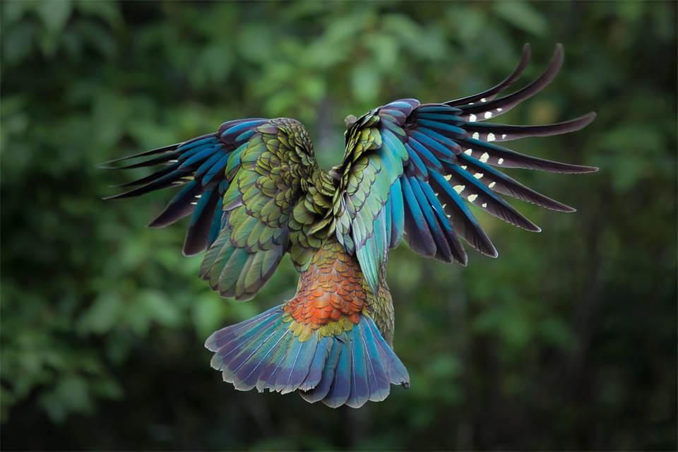 Яркий попугай в полете, Новая Зеландия