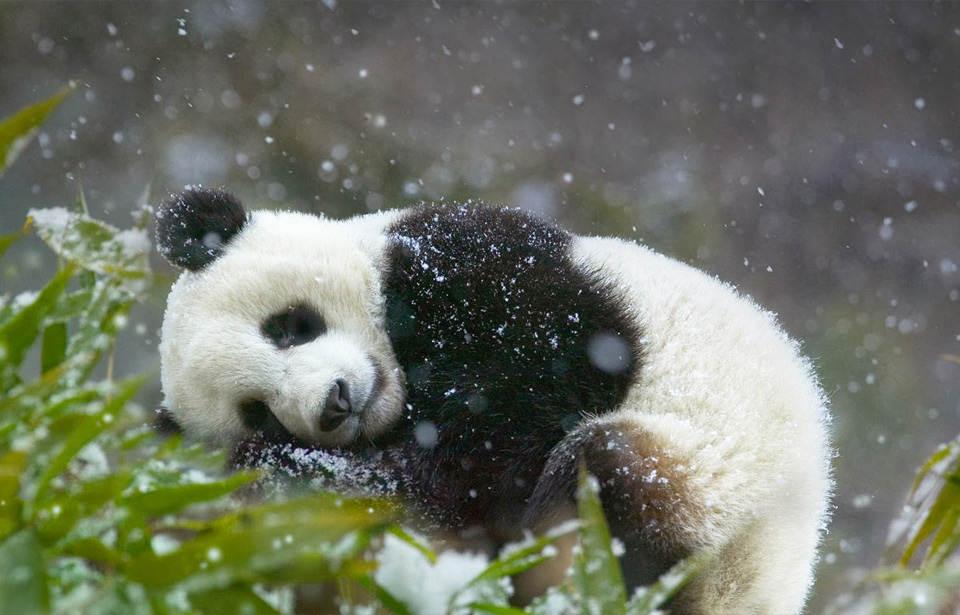 панда Фотографии Китая