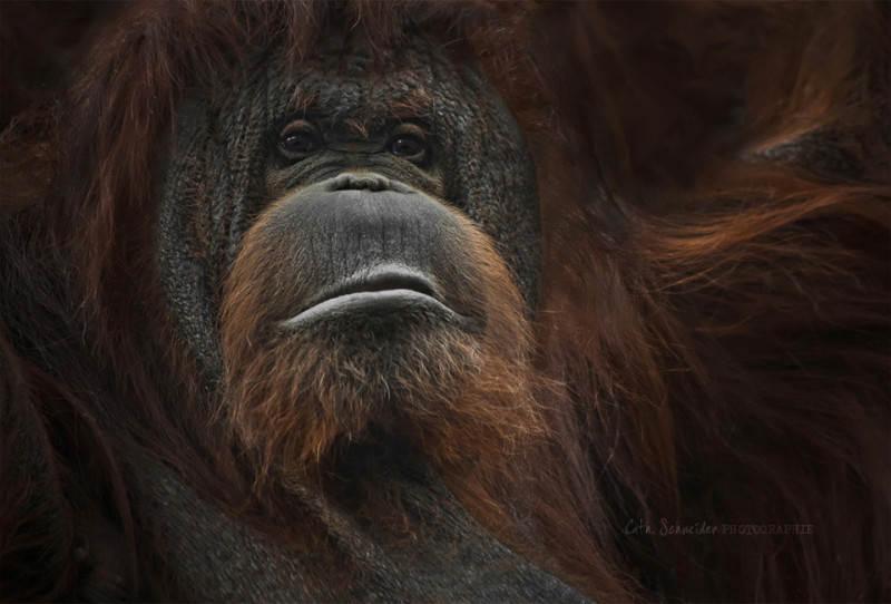 Старый и мудрый орангутанг. Фото: Cath Schneider