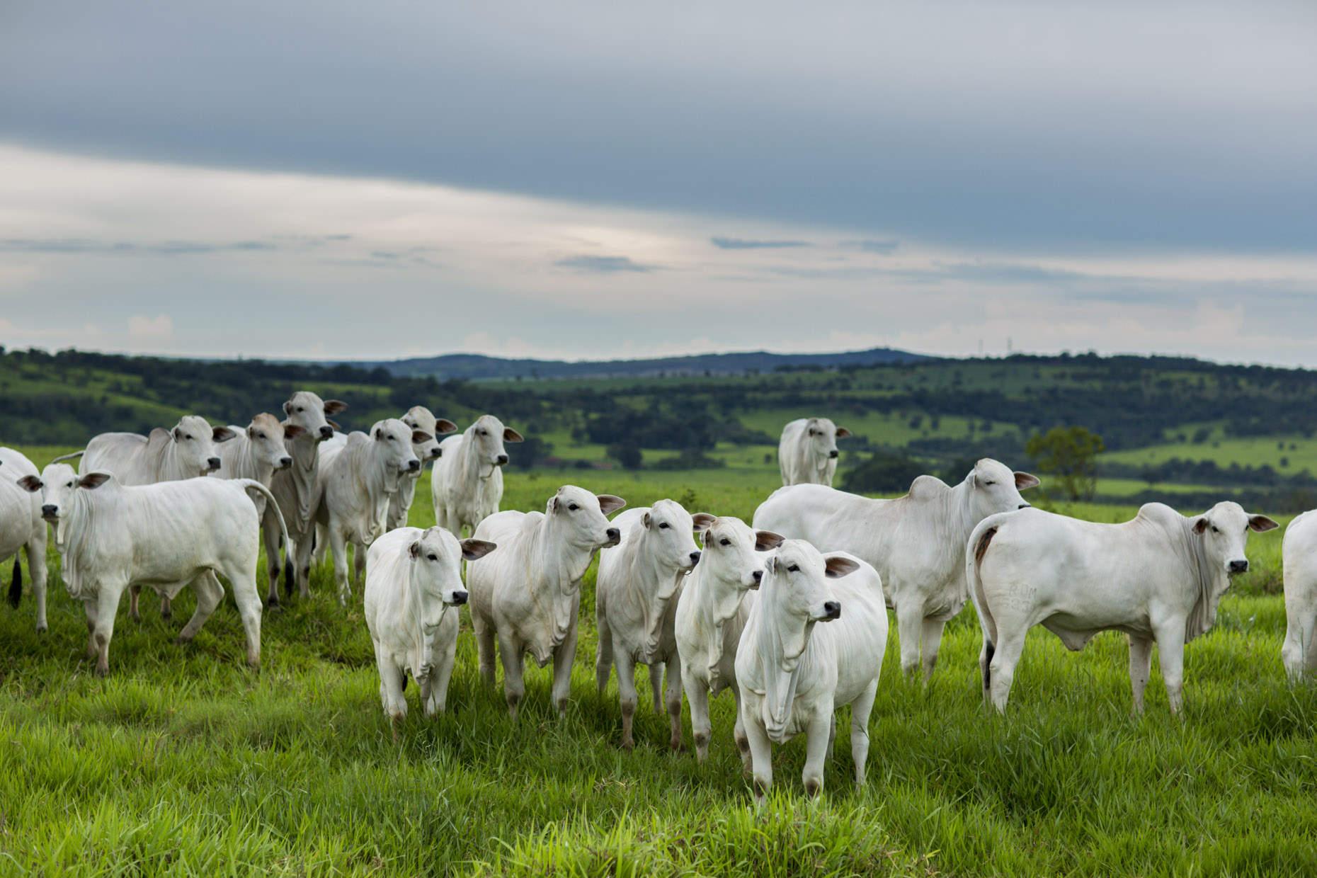 Портреты животных коровы