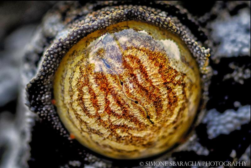 Природа глазами Simone Sbaraglia глаз ящерицы