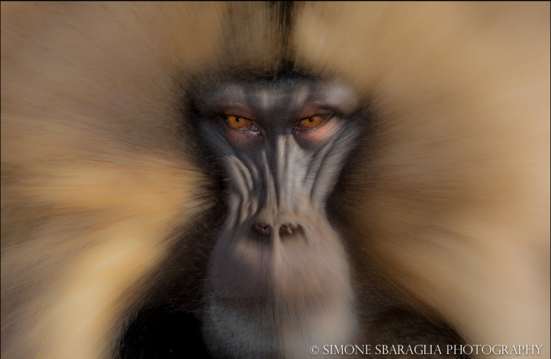 Природа глазами Simone Sbaraglia портрет обезьяны