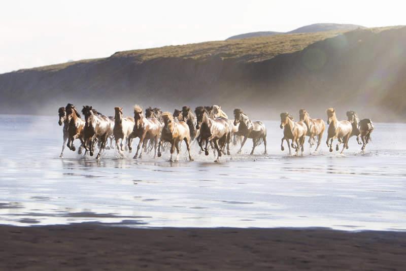 Фотографии лошадей от Gígja D. Einarsdottir