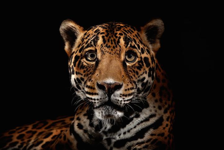 Портреты животных леопард
