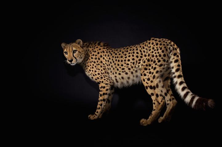 Портреты животных гепард фото