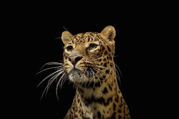 Портреты животных большие кошки