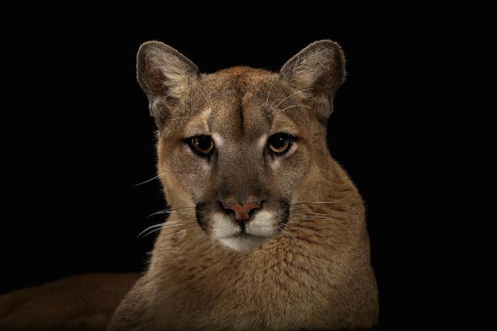 Портреты животных пума фото