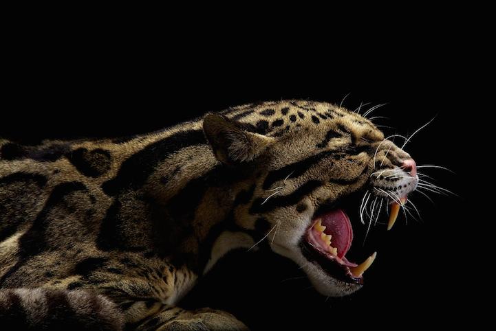 Портреты животных гепард