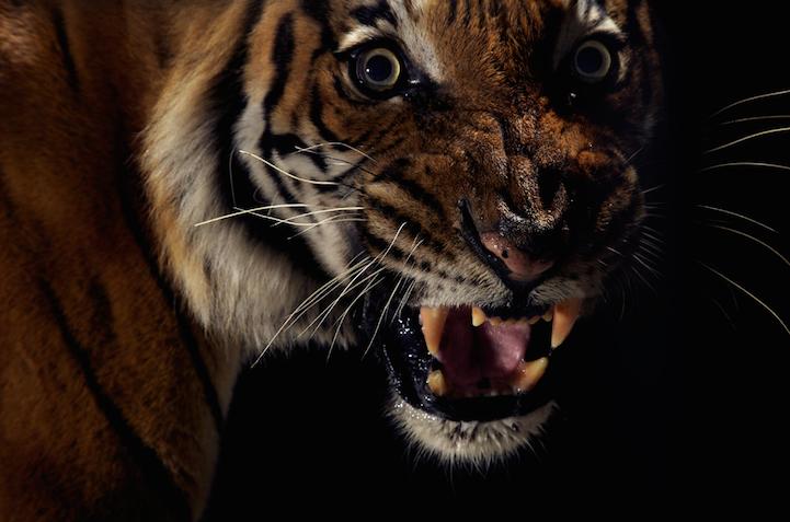 Портреты животных тигр фото