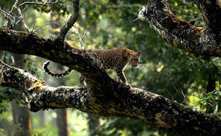 Победители фотоконкурса Ягуар карабкающийся по дереву