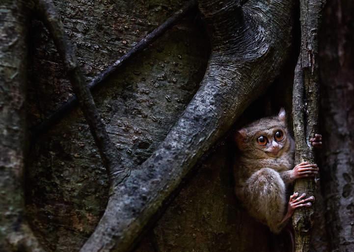 Победители фотоконкурса Маленькая глазастая обезьяна, в ветках дерева