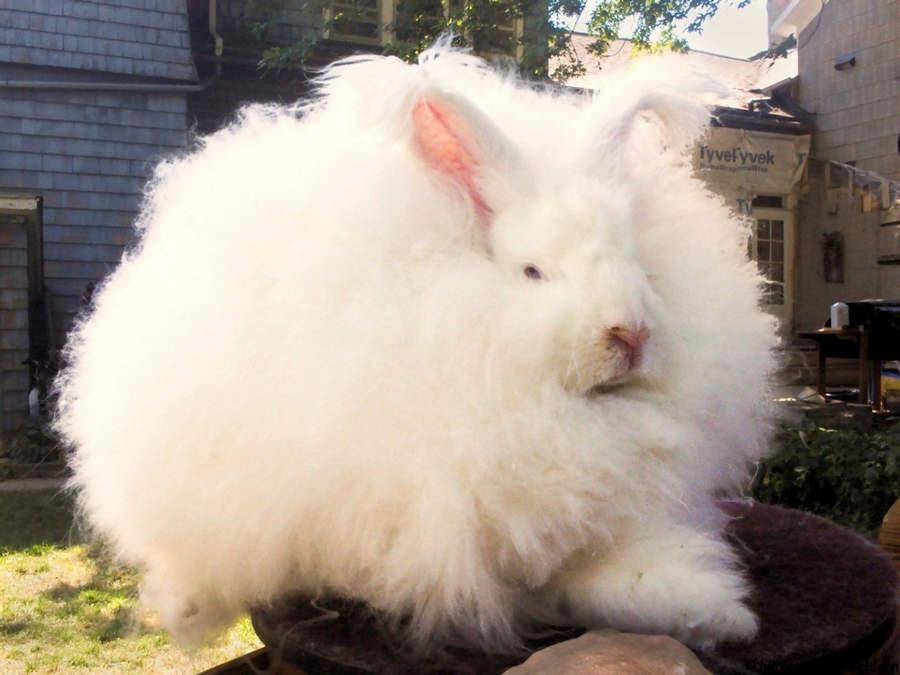 Топ-10 самых необычных животных на Земле Ангорский кролик