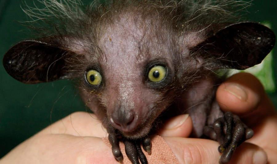 Топ-10 самых необычных животных на Земле Ай-ай