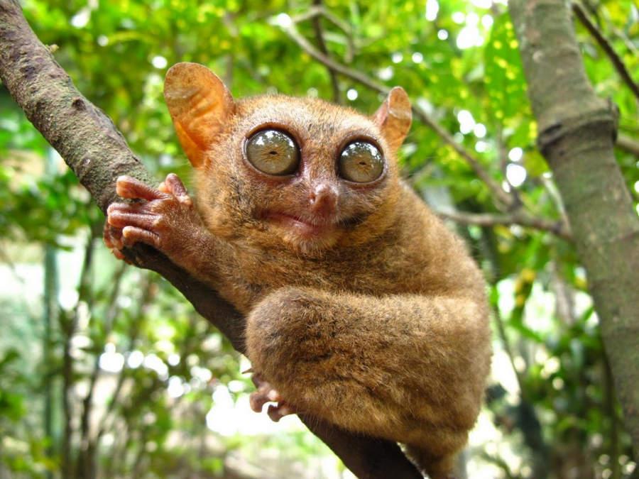 Топ-10 самых необычных животных на Земле Долгопятовые