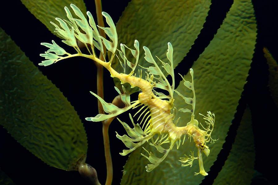 Топ-10 самых необычных животных на Земле Морской конёк-тряпичник